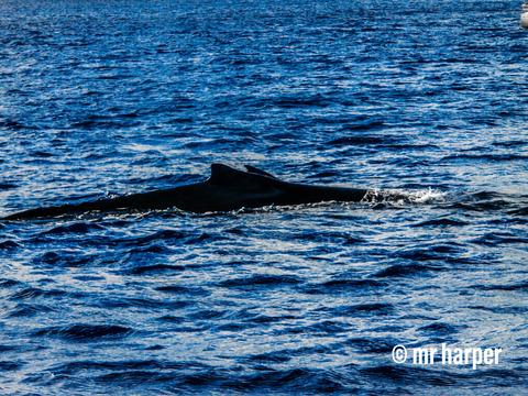 ハワイ クジラ4
