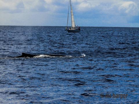 ハワイ クジラ0