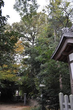 173大野原神社の保存木-クヌギ