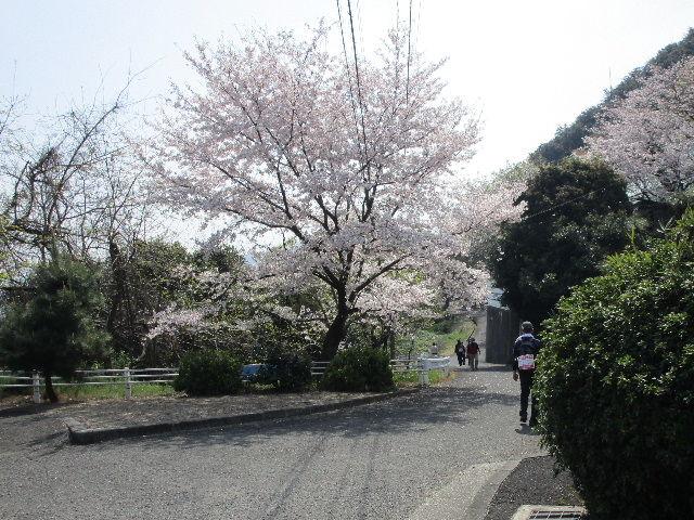 2019-常盤公園の桜