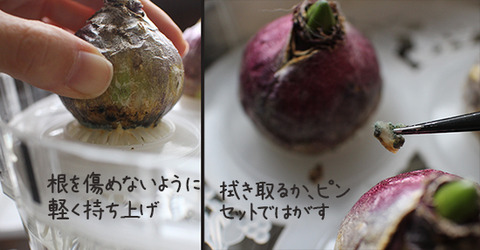 ヒヤシンス 水耕栽培 晩秋 カビ 画像
