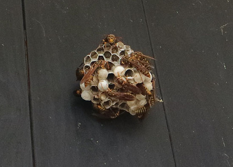 アシナガバチ 退治 駆除しない 共存方法