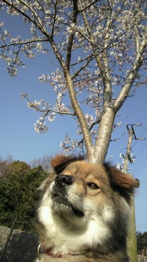 20100327 くま&桜2