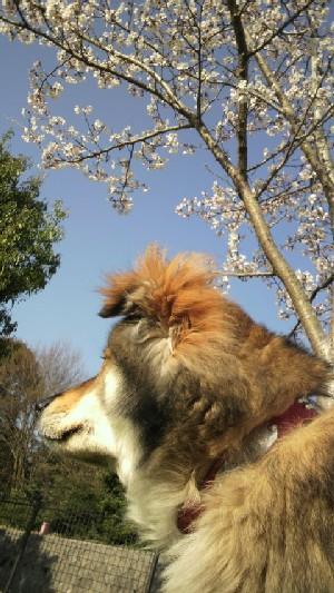 20100327 くま&桜1