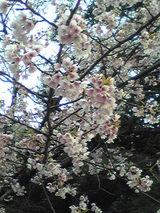 210318桜