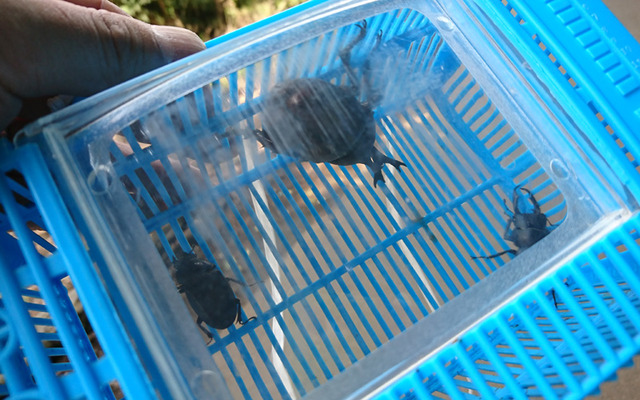 ゴルフ場で昆虫採り意外と穴場