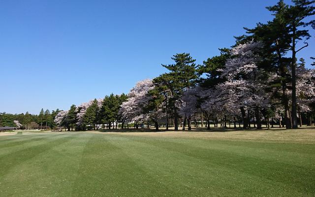 例年より早い千葉CCの桜