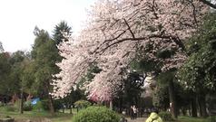 桜満開の戸山公園