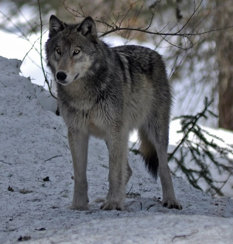 4-10-12-wolf-1_(cropped)