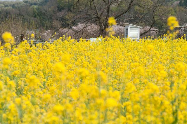 110416 巾着田菜の花ドール撮影22