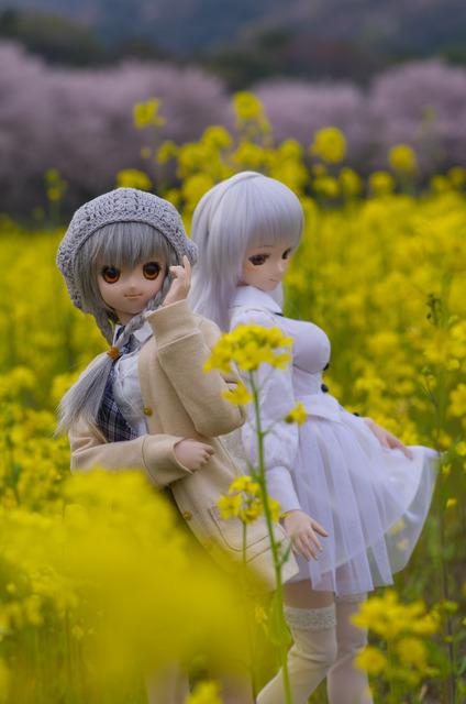 120415 巾着田 桜&菜の花 18