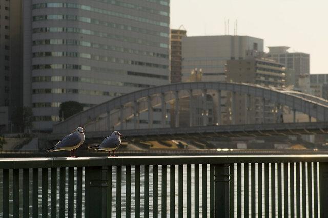 勝鬨橋を背景にしてゆりかもめ二羽