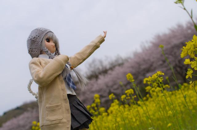 120415 巾着田 桜&菜の花 16