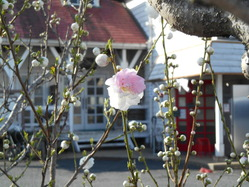 ツートンカラーの桜