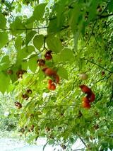林道沿いの木の実