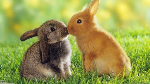 young_rabbits_in_love1