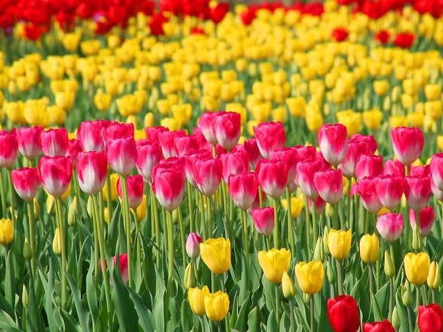 tulip_015