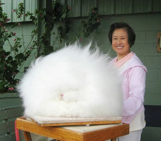 The most fluffy bunny in the world01