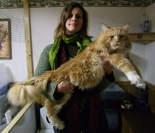 1129maine_coon17