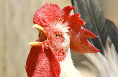 違法の闘鶏から逃げ出そうとした鶏さん、ナイフで飼い主の股間を刺す → 飼い主死亡
