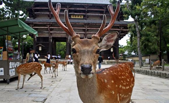 【外道】奈良のシカを斧で切りつけ死なせた三重県の男逮捕「腹が立ち力いっぱい切り付けた」