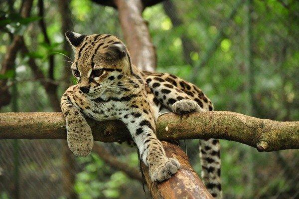 Margay Cat Photo relax tree_w600_h399.jpg
