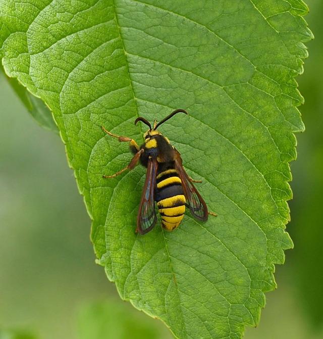 hornet-moth-2