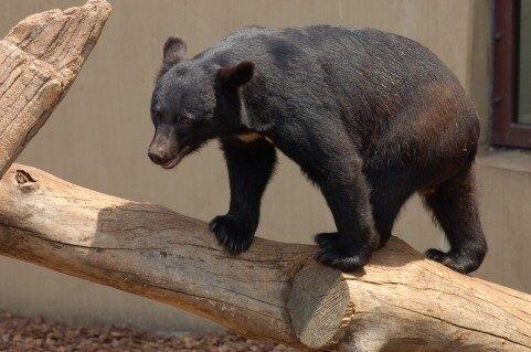 「クマに死んだふり」って本当に有効?クマに8回襲われた専門家に聞いた結果・・・