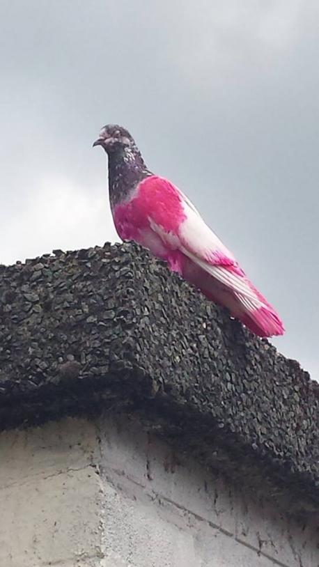 PinkPigeon1