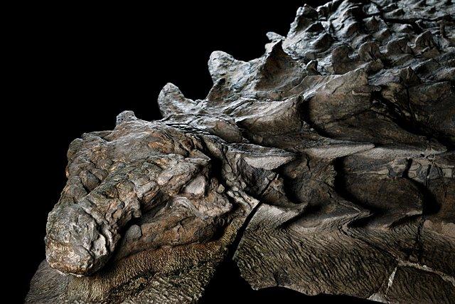 nodosaur-fossil-canadian-mine-face.adapt.1900.1.jpg