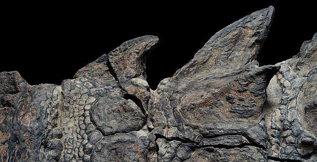 nodosaur-fossils-close-up-ridges.adapt.1900.1.jpg
