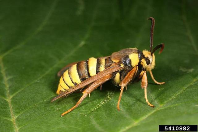 hornet-moth-1