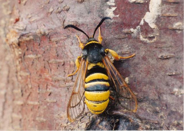 hornet-moth-3