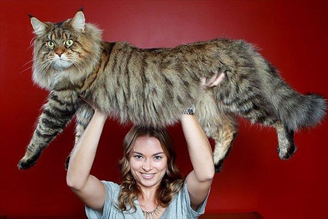 huge-cats-10__605_R.jpg