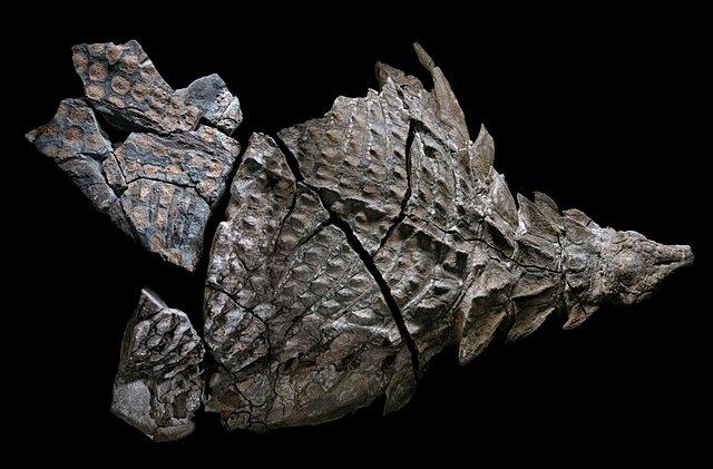 nodosaur-fossils-herbivore-puzzle.adapt.1900.1.jpg