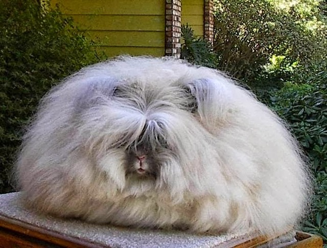 The most fluffy bunny in the world08
