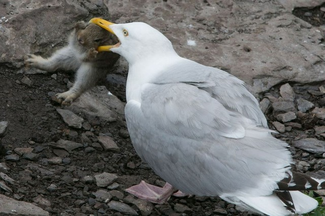 fearsome_seagull_01