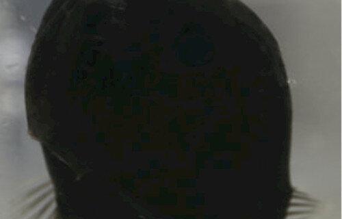 【!?】99.5%の光を吸収する世界一真っ黒な魚『ウルトラブラックフィッシュ』見つかる!黒すぎィ!!