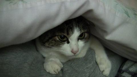 猫が布団に