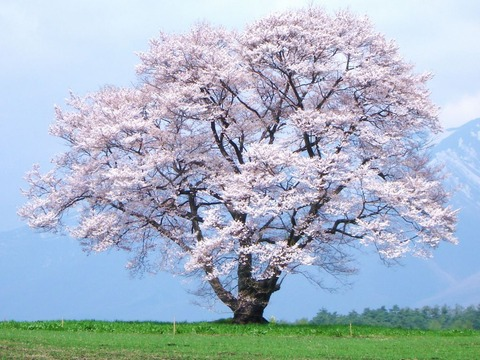 古い桜の木
