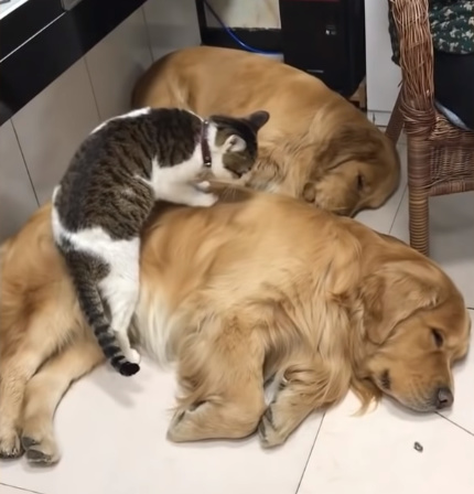 犬に乗っかって寝る猫5