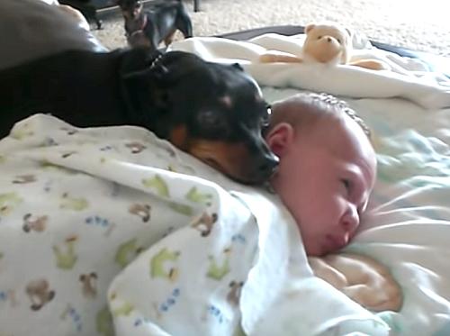 赤ちゃんを起こしちゃダメ!お昼寝している赤ちゃんを守ろうとする優しい犬