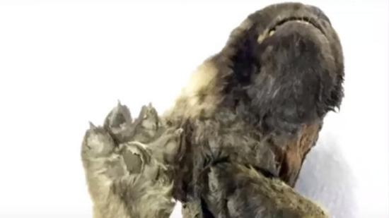 シベリア凍土のイヌ03