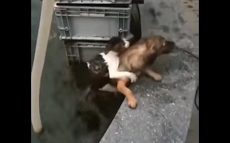 犬が水から猫を救う03