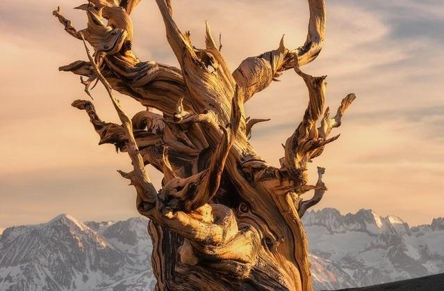 世界で一番古い木