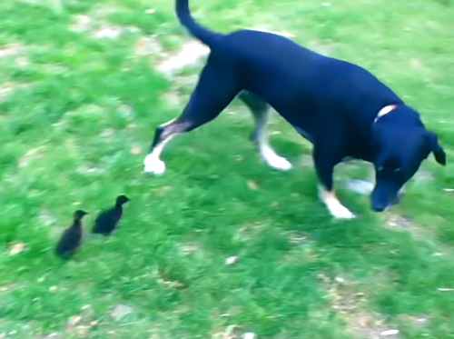 「ママー、待ってー!」犬をお母さんと思い込みずっと追いかける鴨の赤ちゃん