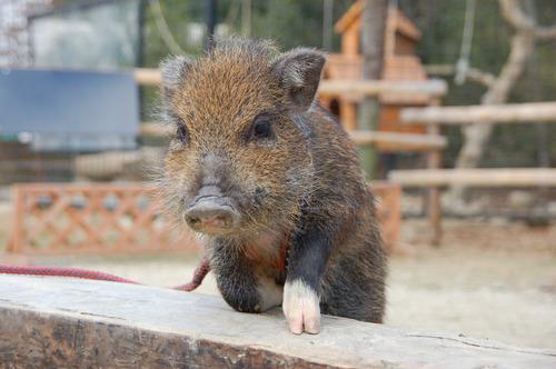 猪年は日本だけ