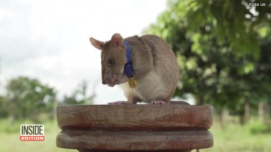 rat-gets-gold-medal1