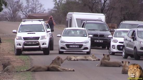 道路でくつろぐライオンの群れ5