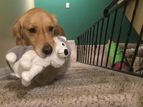 お気に入りのぬいぐるを持ってベッドに行く犬06
